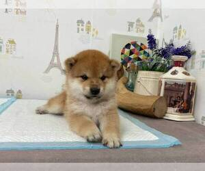 Shiba Inu Puppy for sale in DALLAS, TX, USA