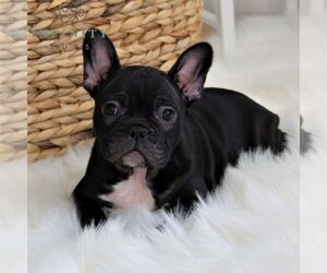 Faux Frenchbo Bulldog Puppy for sale in EPHRATA, PA, USA