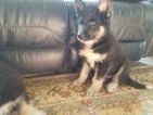 American Indian Dog Puppy For Sale in CHERRY CREEK, NY, USA