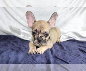 French Bulldog Puppy for sale in FAIRFAX, VA, USA
