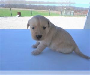 Golden Retriever Puppy for sale in ANN ARBOR, MI, USA
