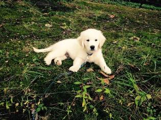 Golden Retriever Puppy For Sale in FOREST, VA