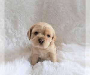 Cocker Spaniel Puppy for sale in ANN ARBOR, MI, USA