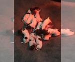 shorthair pups