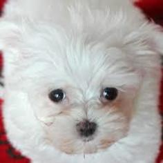maltese puppy for sale in ny view ad maltese puppy for sale new york bronx usa 3117