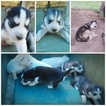 Siberian Husky Puppy For Sale in ROSSVILLE, GA