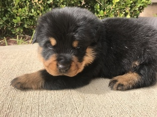 Give birth In For Texas Rottweiler Pups Sale Frankie