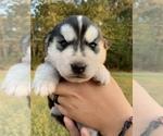 Puppy 4 German Shepherd Dog-Siberian Husky Mix