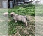 Small #3 Anatolian Shepherd