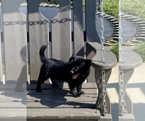 Schipperke Puppy for sale in NAVARRE, OH, USA