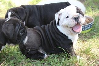 English Bulldogge Puppy For Sale in CEDAR CREEK, TX, USA
