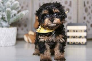 View Ad Havachon Puppy For Sale Ohio Mount Vernon Usa