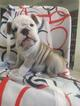 Bulldog Puppy For Sale in REVERE, MA,
