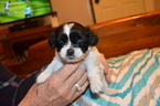 ShihPoo Mix Puppy For Sale in WETUMPKA, AL