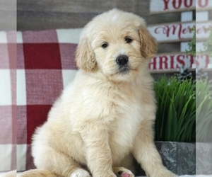 Goldendoodle Puppy for Sale in WEST PLAINS, Missouri USA