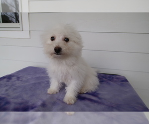 Bichon Frise Puppy for sale in JACKSON, MI, USA