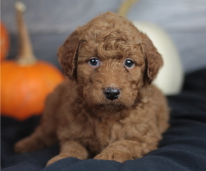 Goldendoodle Puppy for sale in CRESTON, OH, USA