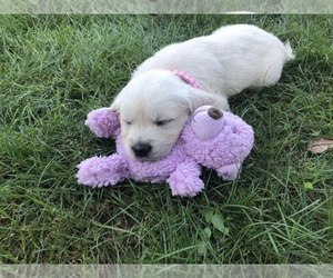 English Cream Golden Retriever Puppy for Sale in COLLEGEVILLE, Pennsylvania USA