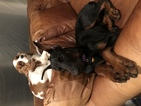 Doberman Pinscher Puppy For Sale in ORLANDO, FL, USA