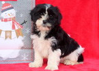 Cavachon Puppy For Sale in MOUNT JOY, PA, USA