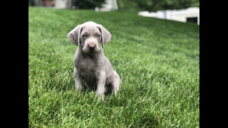 Weimaraner Puppy For Sale in KNOXVILLE, IA, USA