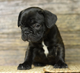 French Bulldog Puppy For Sale in EDMONDS, Washington,