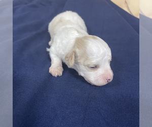 Maltipoo Puppy for sale in JASPER, GA, USA