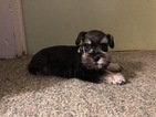 Schnauzer (Miniature) Puppy For Sale in DELAFIELD, WI, USA