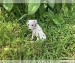 Small #10 Dalmatian