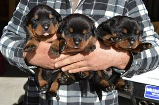 Rottweiler Puppy For Sale in RIO LINDA, CA