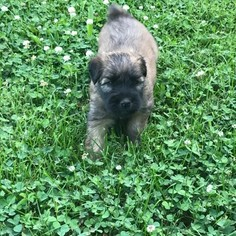 Soft Coated Wheaten Terrier Puppy For Sale in COATESVILLE, IN, USA