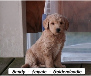 Goldendoodle Puppy for sale in HOPKINSVILLE, KY, USA