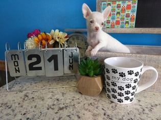 Chihuahua Puppy For Sale in ARLINGTON, TX, USA