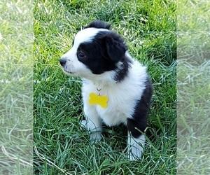 Miniature Australian Shepherd Puppy for sale in ADAIR VILLAGE, OR, USA