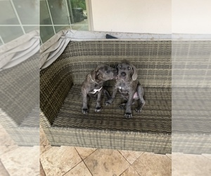Cane Corso Puppy for Sale in SAN ANTONIO, Texas USA