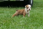 Olde English Bulldogge Puppy For Sale in DARLINGTON, SC, USA