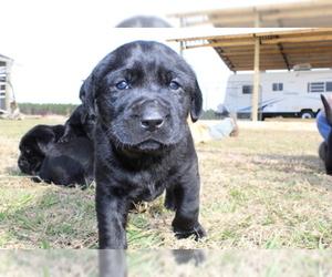 Labrador Retriever Puppy For Sale in ODUM, GA, USA