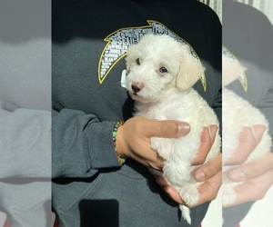 Maltipoo Puppy for Sale in SAN JOSE, California USA
