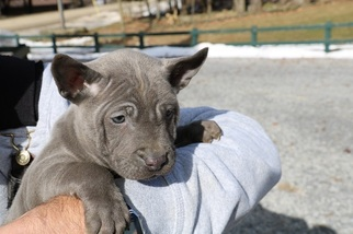 Thai Ridgeback Puppy for sale in SCHENECTADY, NY, USA