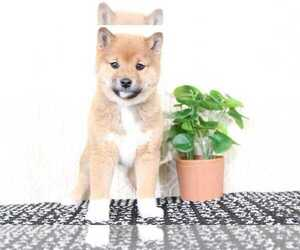 Shiba Inu Puppy for Sale in EL CAJON, California USA