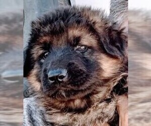 German Shepherd Dog Puppy for sale in YUCCA VALLEY, CA, USA