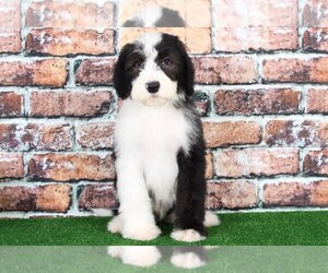 Sheepadoodle Dog for Adoption in BEL AIR, Maryland USA