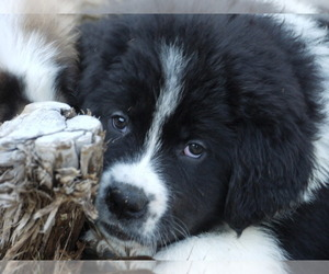 Great Pyrenees-Tibetan Mastiff Mix Dog for Adoption in Lillooet, British Columbia Canada