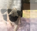 Small Photo #21 Pug Puppy For Sale in CANTON, CT, USA