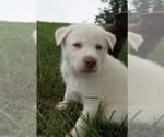 Puppy 4 Labrador Retriever-Siberian Husky Mix