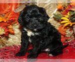 Puppy 7 Bernedoodle-Poodle (Miniature) Mix