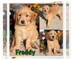 Golden Retriever Puppy For Sale in MARIETTA, GA, USA