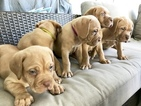Dogue de Bordeaux Puppy For Sale in VENICE, FL, USA