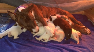 Bull Terrier Puppy For Sale in FLORENCE, KY, USA