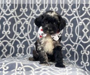 Cocker Spaniel-Poodle (Miniature) Mix Dog for Adoption in LAKELAND, Florida USA